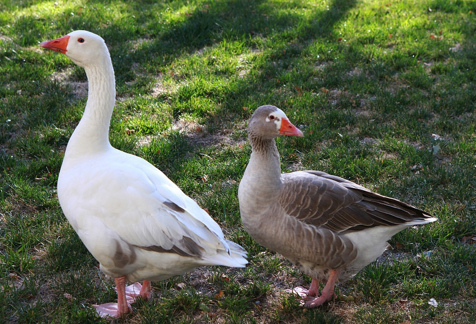 geese-707466_960_720